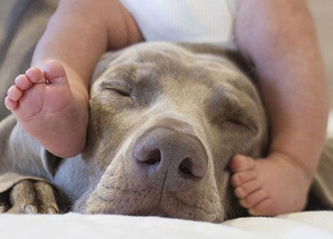 Der Hund wird an das Baby gewöhnt