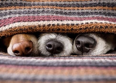 drei Hunde unter der Decke