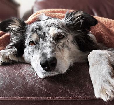 Alter Hund liegt unter der Decke