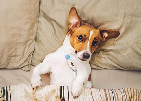 Erkrankter Hund mit erhöhter Temperatur