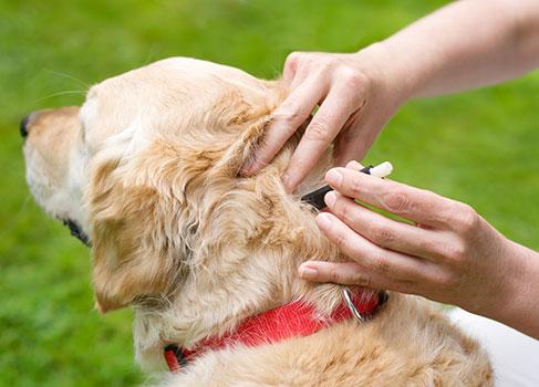 Entfernung einer Zecke im Nacken des Hundes
