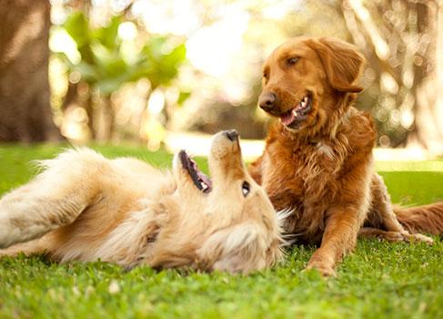 Zwei Hunde toben auf der Wiese