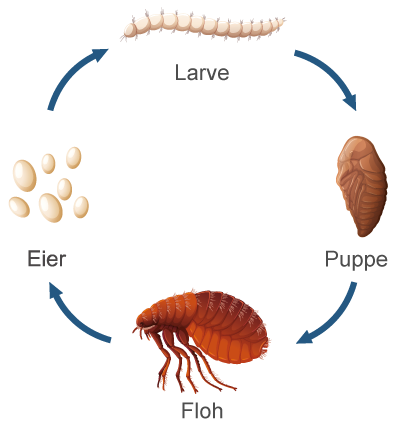 Infografik zum Lebenskreislauf eines Flohs