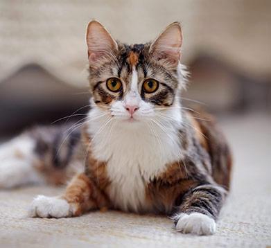 Gefleckte Katze