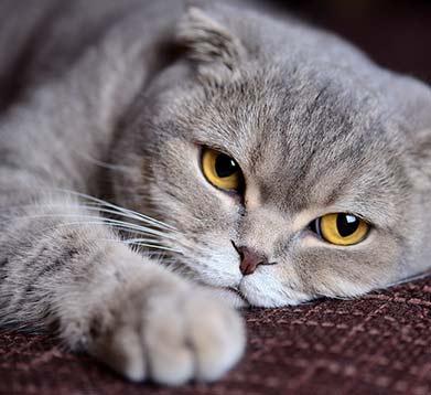 liegnde graue Katze