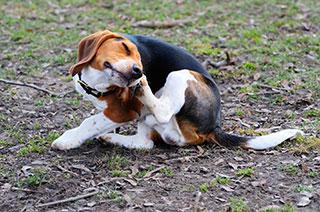 Hund kratzt sich