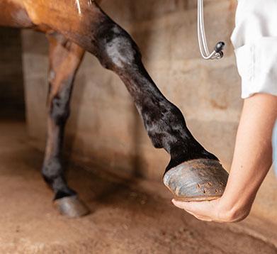 Pferd wird auf Arthrose untersucht