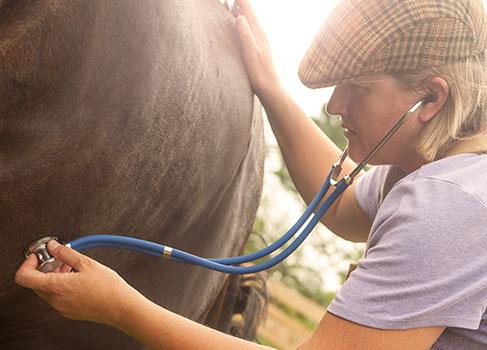 Das Pferd wird vor der Magenspiegelung untersucht