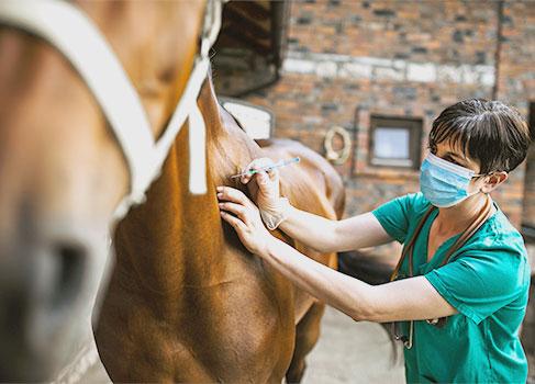 Pferd bekommt eine Spritze