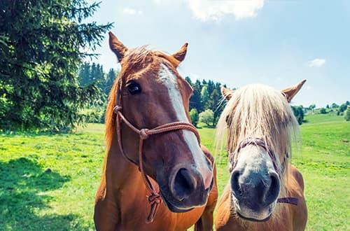 Zwei Pferde schauen in die Kamera
