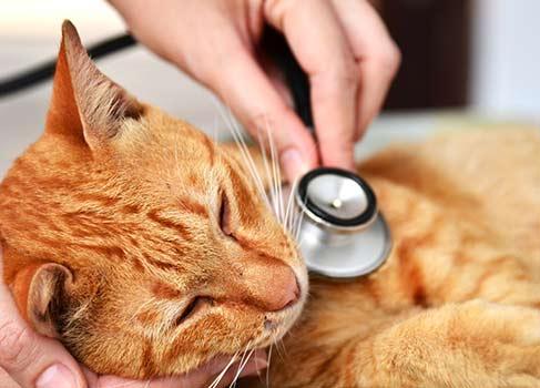 rote Katze wird untersucht