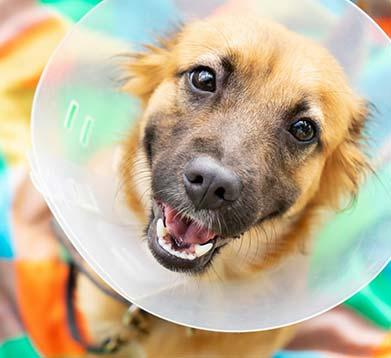 Hund mit Halskrause nach einer OP