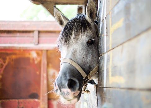 weisses Pferd in seiner Box