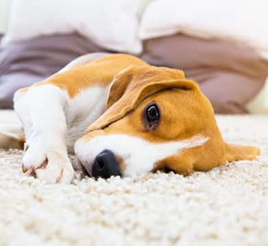 Welpe liegt auf dem Teppich