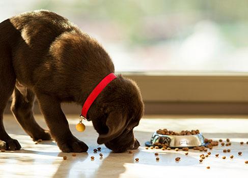 Kleiner Welpe frisst Hundefutter