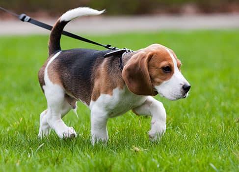 Welpe läuft an der Hundeleine