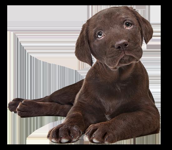 Ein brauner Labrador Welpe der liegt