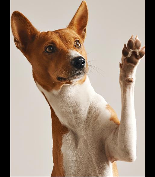 Mischlings-Hund der die Pfote hebt
