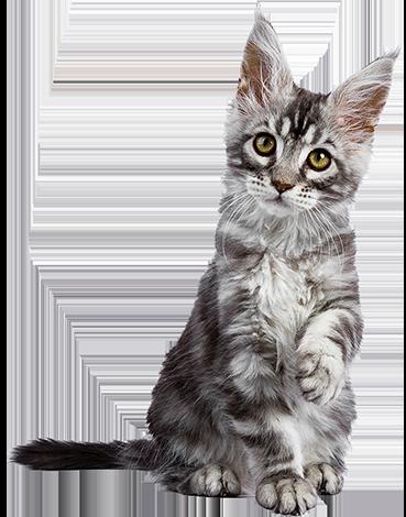 Kitten sitzt und hebt eine Pfote
